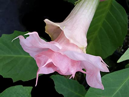 Amazon lizzy brugmansia angels trumpet live tropical plant lizzy brugmansia angels trumpet live tropical plant double pink fragrant flower 4 inch starter pot emeralds mightylinksfo