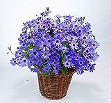 Florists Cineraria Seed Pericallis hybrida Seeds DIY Home And Garden Decor 100 Seeds 16#32800251882ST