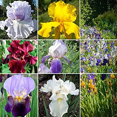 6 Rhizomes of Tall Bearded Iris Collection - Exotically glamorous ruffled blooms aka supermodels of irises!