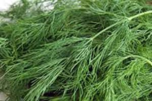 Dill Seed, Bouquet, Heirloom, Non GMO, 25+ Seeds, Herb Fresh or Dried