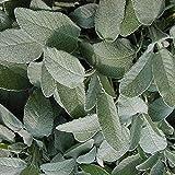 Sage Broad Leaved Herb Seeds (Salvia Officinalis) (100)