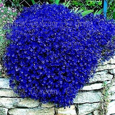 100pcs/bag Creeping Thyme Seeds or Blue Rock Cress Seeds Perennial Ground cover flower, Natural growth for home garden 8 : Garden & Outdoor