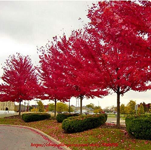 (30pcs/Pack of Seeds American red Maple Tree seedss Big Plants Home Garden Flower seedss)