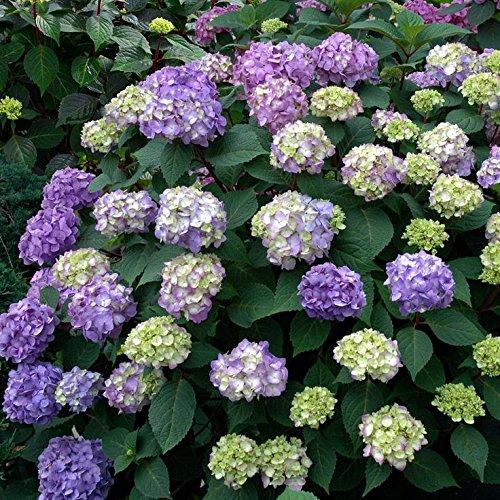 (Endless Summer Bloomstruck Hydrangea, 3 GAL)