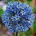 25 BLUE ORNAMENTAL ONION SEEDS - Allium caeruleum