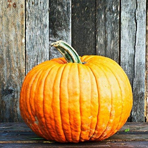 David's Garden Seeds Pumpkin Connecticut Field SV567 (Orange) 50 Heirloom (Carving A Pumpkin For Halloween)
