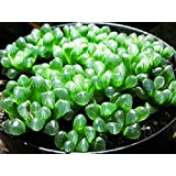 Succulents Seeds 100Pcs Rare Multi Succulent Plants Seeds Ornamental Plants Seeds Courtyard Garden With Flower Seeds For Planting (Haworthia cymbiformis)
