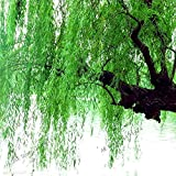 100 Pieces/Pack, Beautiful True Fresh Giant Plant,Green Tree,Easy to Grow,Salix Babylonica Tree,Willow Trees
