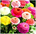 Scabiosa Zinnia Flowered Mix - Zinnia Flower Seeds - Cultivated In Southern Italy For It's Outstanding Colors - Excellent CUT FLOWERS - By MySeeds.Co
