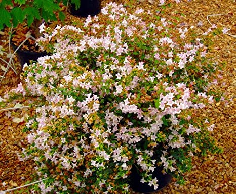 Amazoncom 1 Pinky Bells Abelia Grandifolia Lavenderpink Blooms