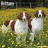 Brittany Calendar 2017 - Brittany Spaniel - Dog Breed Calendars - 2016 - 2017 wall calendars - 16 Month by Avonside