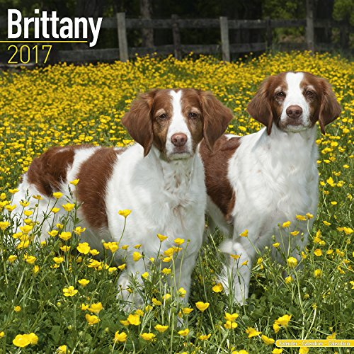 [Brittany Calendar 2017 - Dog Breed Calendar - Wall Calendar 2016-2017] (Miss America Costume 2016)