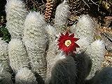 LAMINATED POSTER Flower Succulent Cactus Plant Espostoa Poster Print 24 x 36