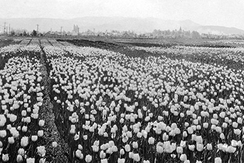 llingham Tulip Fields Photograph (12x18 Art Print, Wall Decor Travel Poster) ()