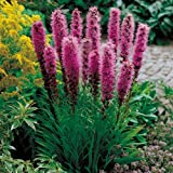 (PLI)~'BLUE BLAZING STAR'~Seeds!!!~~~~~Gorgeous Spikes of Color!!