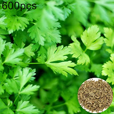 Parsley Seeds,600Pcs Parsley Seeds Nutritious Vegetable Home Garden Farm Yard Delicious Plant Parsley Seeds: Sports & Outdoors