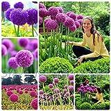 50pcs / bag Purple Giant Allium Giganteum GLOBEMASTER Beautiful Flower Seeds the Budding Rate 95% Garden Plant For Kids Gift