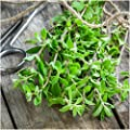 Package of 500 Seeds, Sweet Marjoram (Origanum majorana) Non-GMO Seeds By Seed Needs