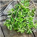 Package of 500 Seeds, Sweet Marjoram (Origanum majorana) Non-GMO Seeds By Seed Needs