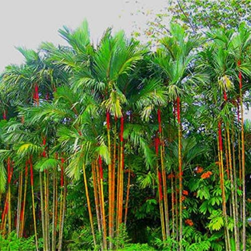 50pcs//pack Lady Palm seeds Tree Seeds Perennial Plants Free Shipping
