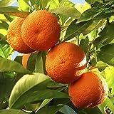 Citrus Orange Tree 1.2M tall