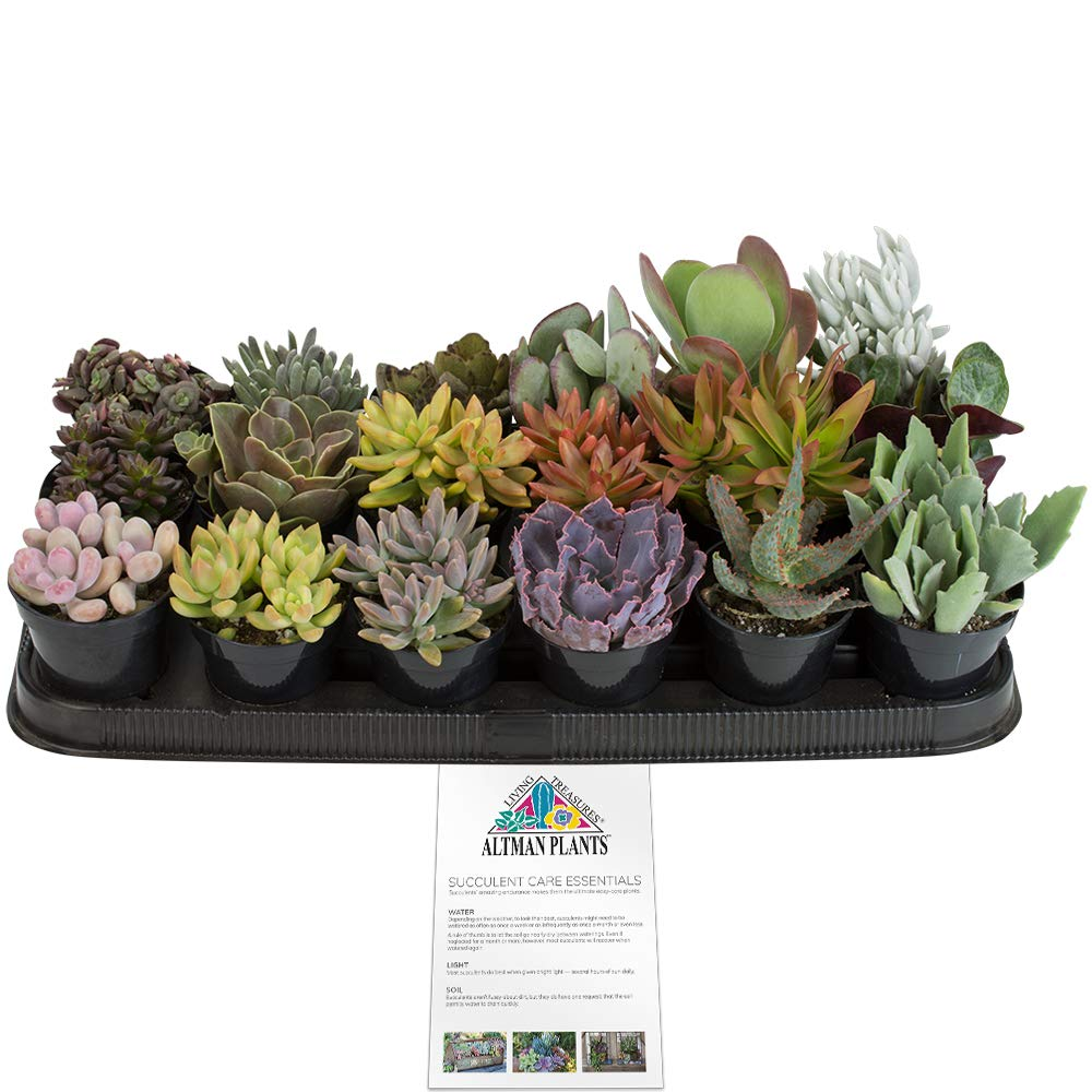 Altman Plants Assorted Live Tray large succulents bulk for planters, 3.5'', 18 Pack
