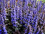 Bugle Ground Cover Perennial ajuga reptans groundcover Bugleweed 20 Seeds