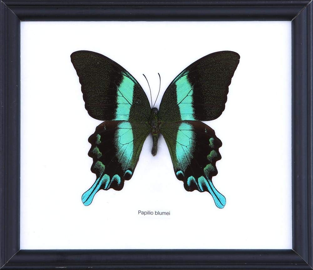 20 x 18 cm The Green Swallowtail Butterfly | Mounted and Framed Wall Decor Taxidermy Papilio blumei