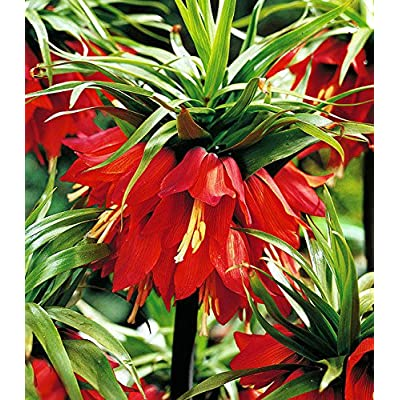 Fritillaria Ruba - (1 Bulb)- Deer and Rodents Won't Eat -Height 32-36 Inches. : Garden & Outdoor