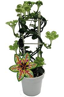 Dominik Blumen Und Pflanzen Asiatische Traubenorchidee Dendrobium