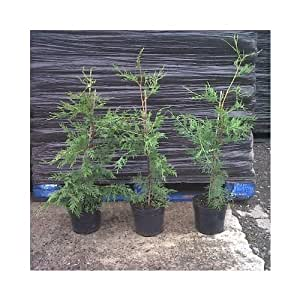 15x Leylandii cupressocyparis cobertura 70–90cm de alto en 2l, cobertura Conifers–Pot crecido