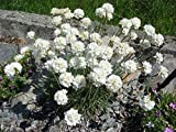Armeria maritima 'Alba' White Sea Thrift