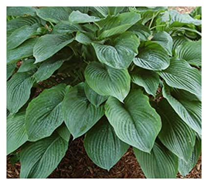 Amazoncom Hosta Empress Wu Giant Plant Garden Outdoor