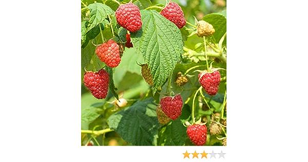 delicious Rubus parvifolius x idaeus Hybrid Raspberry 10 fresh seeds