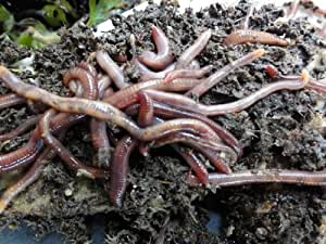 Natures Footprint 1 lb. Red Wiggler Worms