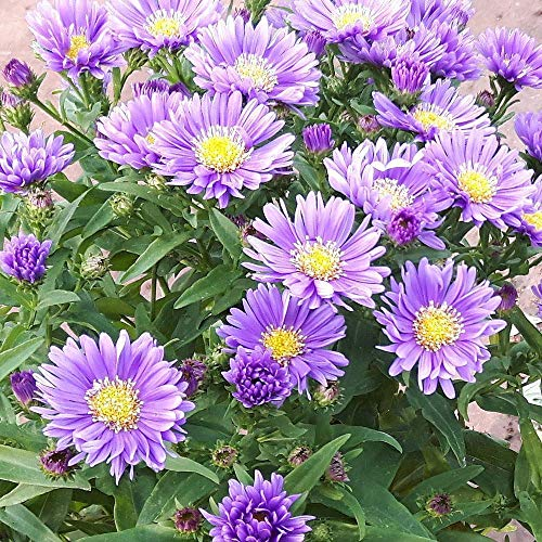 Portal Cool 30 X Seeds Aster Michaelmas Daisy Blue/Lavender Cottage Garden Perennial