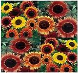 50 Seeds Autumn Beauty Common Sunflower (Helianthus annuus Autumn Beauty) Garden Sunflower