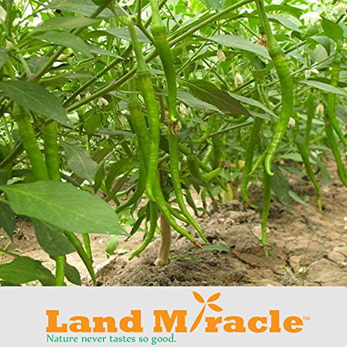 5 Original Pack, 30 seeds / pack, Long Green Cayenne Seeds Supper Hot Pepper Seeds Hot Green Chili Seeds Land Miracle D267