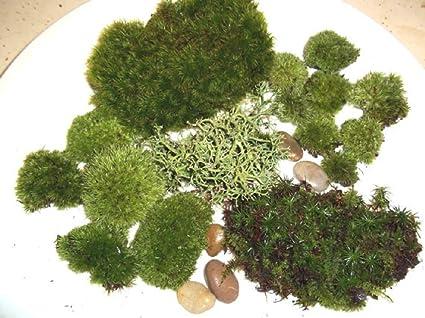 Amazon Com Live Moss Assortment For Terrariums Frog Haircap