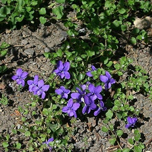 Viola odorata Duftveilchen De Toulouse