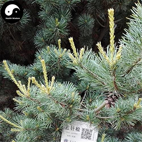 Comprar bienes semillas de Pinus parviflora /árbol 240pcs planta china Pino Pinus Parviflora Grow Wu Zhen Canci/ón pinaster