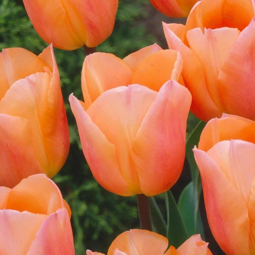 Humphreys Garden® Apricot Beauty x 25 Tulip bulbs