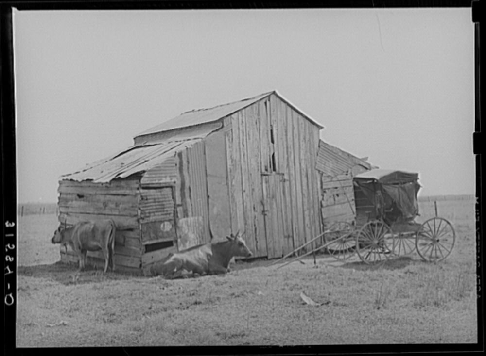 Old barn, cow and buggy, near Lafayette, Louisiana. This buggy is in everyday use, and it is not unusual to see several buggies on the streets in town by Historic Photos