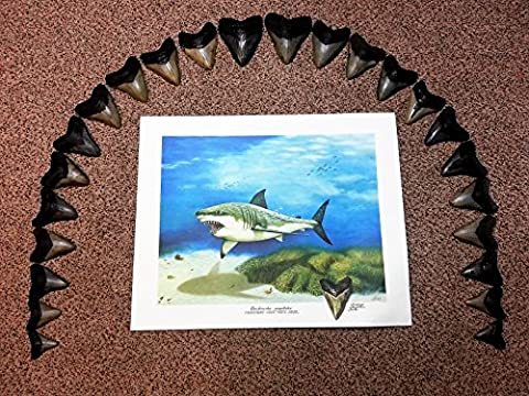 Complete Upper Row of 24 Genuine Fossilized Shark Teeth from the Prehistoric Monster Megalodon Shark & a FREE Limited Edition Megalodon Print (23.5