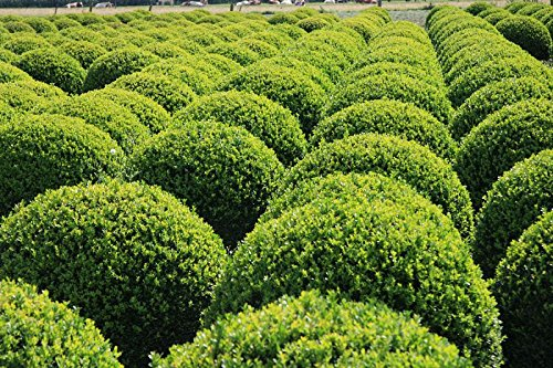 Dwarf English Boxwood, 1 GAL by Garden Goods Direct