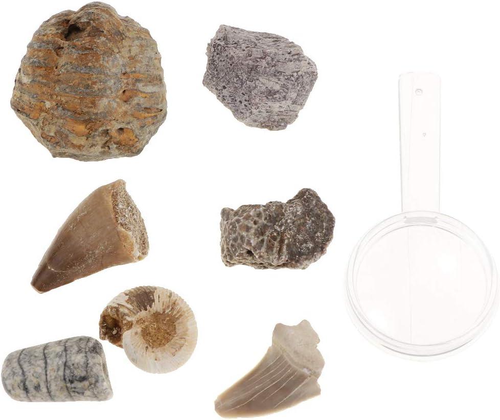 B Blesiya 7 Piezas Muestras de Minerales Fósiles y Rocas de Colección con Caja de Almacenamiento, Regalo de Recuerdo para Adultos Niños: Amazon.es: Juguetes y juegos