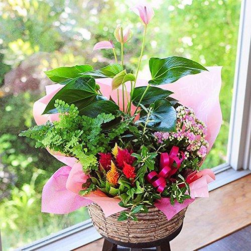 おまかせ寄せ鉢ミックス Lサイズ 鉢花 鉢物 観葉植物 B07C8FY8MN