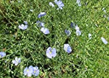 Blue plumbago is a species of flowering plant at the public park .: Plumbago auriculata
