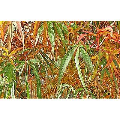 MGG 100 Pcs Seeds Japanese Maple Acer Palmatum Scolopendrifolium - 263RK : Garden & Outdoor