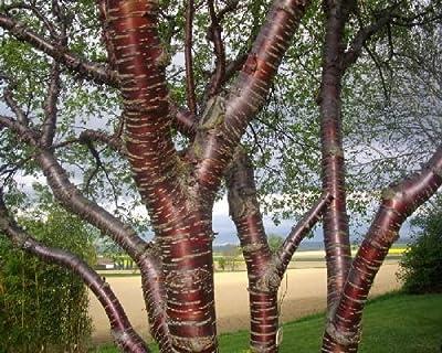 50 Paperbark Cherry Tree Seeds, Prunus Serrula